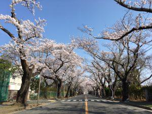 夜ノ森桜②