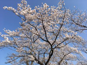 夜ノ森桜③
