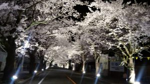 夜ノ森桜④