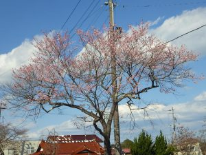 20200324_富岡町桜開花